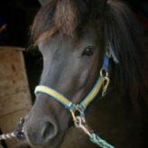 Čištění koní
