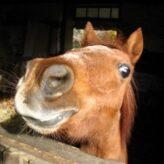 Dušnost u koní