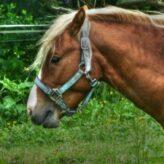 Kašel u koní