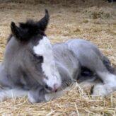 Jak spí kůň